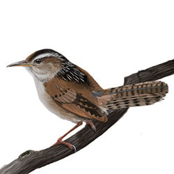 Marsh Wren Body Illustration