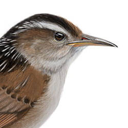Marsh Wren Head Illustration