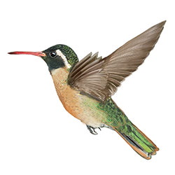 Xantus's Hummingbird Flight Illustration.jpg