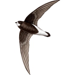 White-throated Needletail Breeding Male Body Illustration