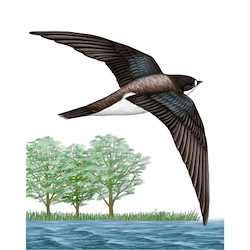 White-throated Needletail Breeding Male Flight Illustration