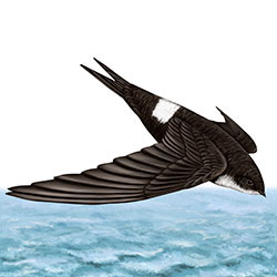 Fork-tailed Swift Body Illustration
