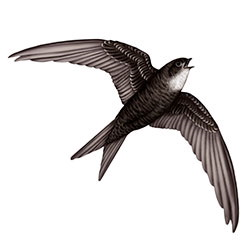 Fork-tailed Swift Flight Illustration