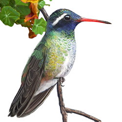 White-eared Hummingbird Breeding Male Body Illustration