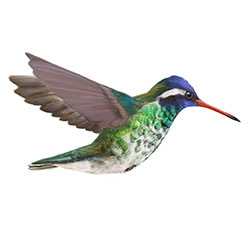White-eared Hummingbird Breeding Male Flight Illustration