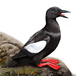 Black Guillemot Body Illustration
