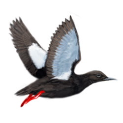 Black Guillemot Flight Illustration