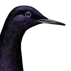 Black Guillemot Head Illustration