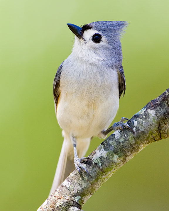 Tufted titmouse whatbird sciox Images