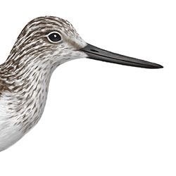Common Greenshank Head Illustration