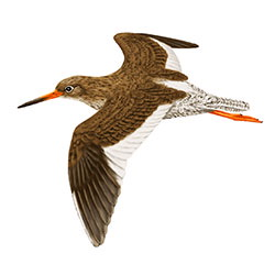 Common Redshank Flight Illustration