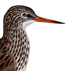 Common Redshank Head Illustration