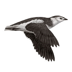 Kittlitz's Murrelet Flight Illustration.jpg