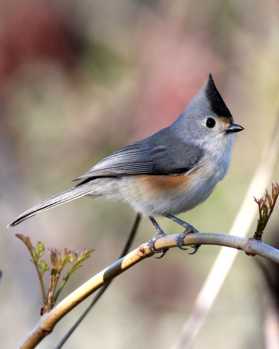 Black crested titmouse whatbird sciox Images