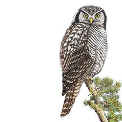 Northern Hawk Owl Body Illustration.jpg