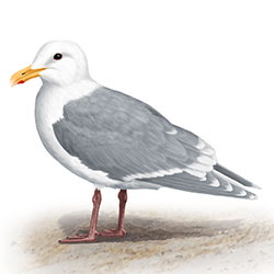 Glaucous-winged Gull Body Illustration.jpg