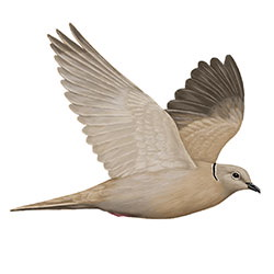 Eurasian Collared-Dove Flight Illustration