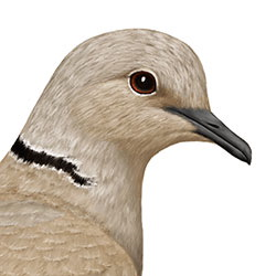 Eurasian Collared-Dove Head Illustration