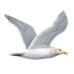 Glaucous-winged Gull Flight Illustration.jpg