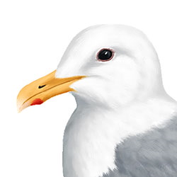 Glaucous-winged Gull Head Illustration.jpg