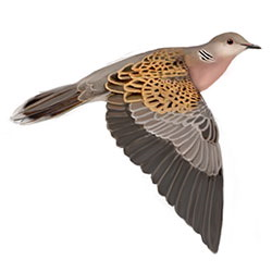 Oriental Turtle-Dove Flight Illustration