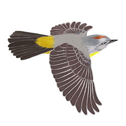 Virginia's Warbler Flight Illustration.jpg