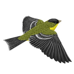 Lesser Goldfinch Flight Illustration