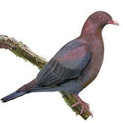 Red-billed Pigeon Body Illustration