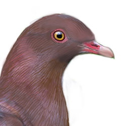 Red-billed Pigeon Head Illustration