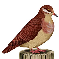Ruddy Quail-Dove Body Illustration