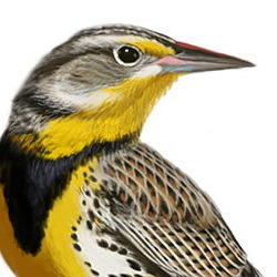 Western Meadowlark Head Illustration