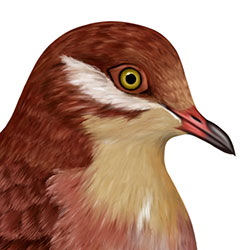 Ruddy Quail-Dove Head Illustration