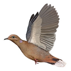 Zenaida Dove Flight Illustration.jpg