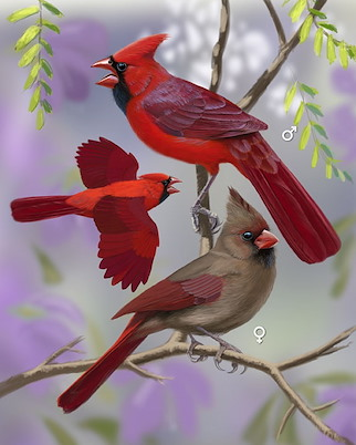 click here to zoom image  northern cardinal