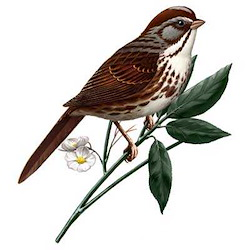 Song Sparrow Body Illustration