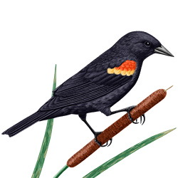 Red-winged Blackbird Body Illustration