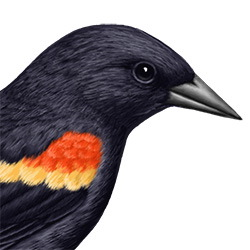 Red-winged Blackbird Head Illustration
