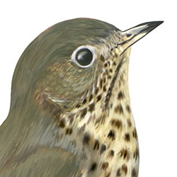 Hermit Thrush Head Illustration
