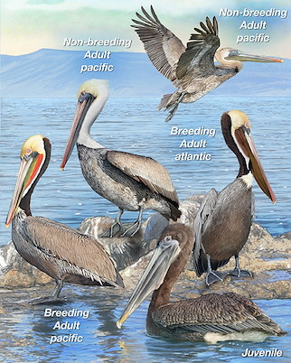 brown pelican whatbird com