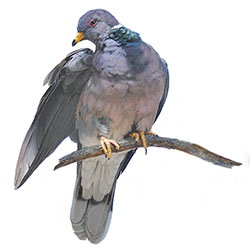Band-tailed Pigeon Body Illustration