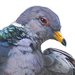 Band-tailed Pigeon Head Illustration