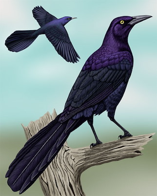 Raven vs crow vs grackle - photo#45
