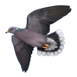 Band-tailed Pigeon Flight Illustration