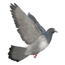 Rock Pigeon Flight Illustration