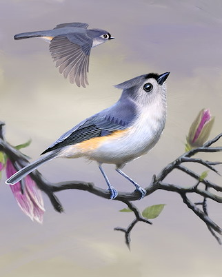 Tufted titmouse whatbird click here to zoom image tufted titmouse sciox Images