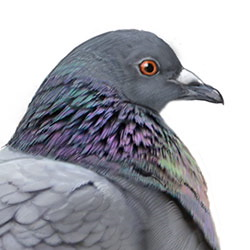 Rock Pigeon Head Illustration