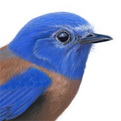 Western Bluebird Head Illustration