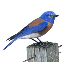 Western Bluebird Breeding Male Body Illustration
