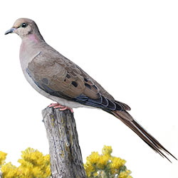 Mourning Dove Body Illustration