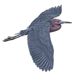 Little Blue Heron Flight Illustration